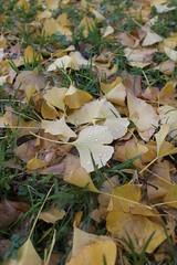 06267826 (chirlychong) Tags: 2016626閒逛奧克蘭 銀杏 落葉 黃色 顏色