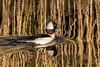 Buffalo-Head Duck (MelRoseJ) Tags: dorris california unitedstates nature sonyalpha sal70400g sony sonyilca77m2 a77ii alpha autofocus birds bufflehead klamathwildliferefuge
