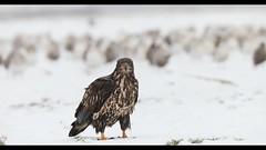 Juvenile Eagle (Crisp Image Photography) Tags: eagle baldeagle juvenileeagle birdsofprey raptor video wildlife kevinlippe crispimagephotography
