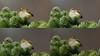 Incredible : a Goldcrest ... sleeping !!! (Franck Zumella) Tags: golden crowned kinglet goldcrest roitelet huppe bird oiseau arbre tree colors blue bleu green vert small little petit minuscule sleeping sleep dormir