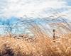 wind and sun (severalsnakes) Tags: 365 ks2 m3528 missouri pentax saraspaedy countryroad dirtroad farm fence foxtail grass gravelroad manual manualfocus rural