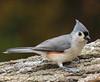 Tufted Titmouse (John Strung) Tags: birds tuftedtitmouse burlington ontario canada ca