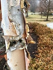 Garrison Forrest ~ HTMT! (karma (Karen)) Tags: garrisonforest owingsmills maryland trees bark texture htmt iphone