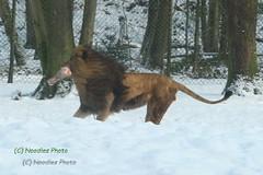 Lion with Prey in the snow (Noodles Photo) Tags: pantheraleo löwe lion burgerszoo schnee netherlands niederlande raubtier carnivora cat groskatze ef100400mmf4556lisusm canoneos1dmarkiii