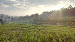Sawah di Temanggung (bryantara) Tags: temanggung sawah