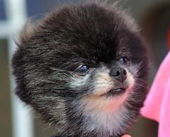 teddy bear pomeranian (im2fast4u2c) Tags: teddy bear pomeranian