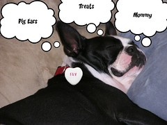 Pixie's Dreams (Kimberly207) Tags: dog white black boston toys flickr pixie dreaming terrier