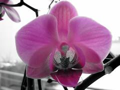 Orchid (Sonja_K)