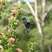 Beija-flor - Hummingbird 2 571 - 7