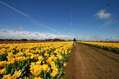 041206 (mathowie) Tags: flowers sky oregon spring tulips farm woodburn