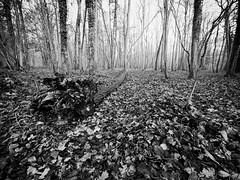 Sous-bois en décembre (steph20_2) Tags: panasonic gh3 m43 714 lumix monochrome monochrom forest forêt sousbois arbre tree noir noiretblanc ngc blanc black bw white skanchelli picardie oise