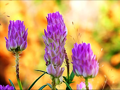 August Wild flowers (Imapix) Tags: flowers wild nature colors wow photo photographie purple imapix favpix imapixphotography gatanbourquephotography