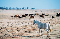 Animal Distinction (kool_skatkat) Tags: winter horses horse white film dan animal topv111 topv2222 canon wow ilovenature outdoors cow topv555 topv333 cows deleteme10 topv1111 topv999 topv444 dry bulls topv222 topv777 topv666 topv888 eos300v koolskatkat