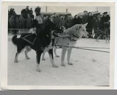dogs huskies alaska