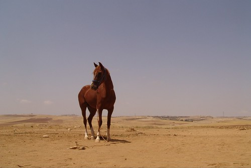 Jordan - Anglo-Arab stallion, Kings Highway