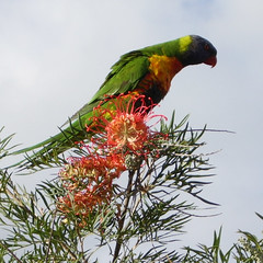 IMGP2354 (flagondry) Tags: rainbow lorriket rainbowlorikeet bird colour color colors colours flower flowers pc4101 australia fav favorite favourite strangebird strange lorikeet lorrikeet loriket pentaxsmc trichoglossushaematodus top20wings availablelight sunlight naturallight natural light noflash withoutflash sunshine favewings vibrant animal feathers grevillea nativeaustraliananimal native australian nativeaustralian australiananimal feather head neck wing wings beak happy look pc4102 excellent magnificent photo photograph image brilliant best unreal wow farout geez unbelievable ornithology ornithologist flora fauna wonderful expression impressive impressed chick nectar pollen pollination feed feeding eat eating snack ohmygod pic picture capture leaf twig branch sky powerful religiousexperience fantastic funtastic good better ultimate notacat notamouse notadog notabear notachicken notahorse notakitten notapuppy itsabird abird yesabird orthinology orthinologist notapenguin notafrog notabee notadragonfly notaspider reallyabird yesitreallyisabird isthatabird notmuch nothingmuch boring interesting notagiraffe notanelephant notawoodpecker notaroadrunner notaparrot notaparakeet notalion notatiger thatisabird notawolf notadolphin notameerkat notinazoo wild wildlife joking humor humour funny notsad happychappy inthewild bush tree colorful colourful desirable desire notextinct boid hahaha haha ha he hehe hehehe hi hello notunderwater aboveground duttonpark highgatehill creature creatures critter critters free freedom saycheese smileatthecamera cloud clouds cloudyday overcast cheeky cheek cheekybird itortitawatuttytat loonytunes loonietunes loonytoons loonietoons notahippopotamus forreal yesitsreal thatsarealbird whatabird notacow isitananimal isabirdananimal meaningoflife notflying itcanfly ithaswings expressive notinflight nothuman notaperson eye eyes tail tailfeather shakeatailfeather shakeyourtailfeather qld queensland brisbane bne