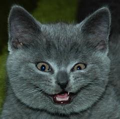 Hi, flickr friends! (Buntekuh) Tags: cats pets silly topf25 animals amazing topf50 feline funny topv999 gatos topf300 top20catpix topf150 topf100 katzen topf250 topf200 buntekuh dimilnchenskittens kartuser carthusiancats 10000views topv2000 topv3000 500viewsand50favourites topv4000 topv5000 12000views topv6000 topv8000 nikonstunninggallery abigfave 11000views bestofcats 8500views gggwin1 gggsmile