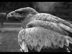 Tawny Eagle (_pauls) Tags: 15fav bird top20wings top20nature predator captive falconry steppeeagle aquilanipalensis thorpperrow