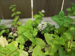 Mint plant - now flowering