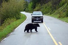 Bear crossing road (ebygomm) Tags: bear usa roadtrip yellowstonenationalpark yellowstone wyoming blackbear usaroadtrip