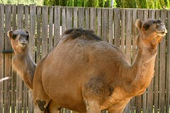 Two-headed Camel