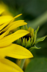 () Tags: flower leaf garden macro sunflower