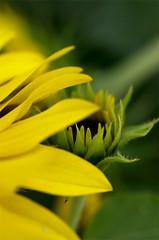 (α) Tags: flower leaf garden macro sunflower