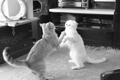 fighting cats!!! (_Xti_) Tags: gato gatos cat cats exotic persian exoticcat exoticcats lua ling katzen gatto gatti ktzchen mo kitty furry cutecat feline felines gata gatas chat silver golden sorthair pet pets eyes kaz ket mau exoticsorthair fantastic boxing