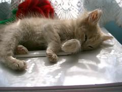I can sleep anywhere (Marchnwe) Tags: cats cute kitten