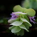 Photo: Origanum rotundifolium 'Kent Beauty'
