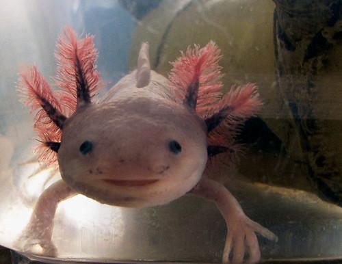 sandy -- axolotl tank salamander pet cute water gills pokemon face irl irlpokemon pink