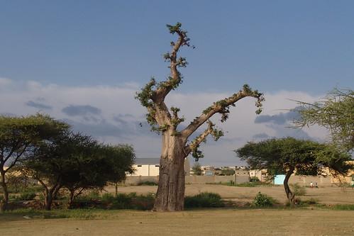 Baobab, Barentu