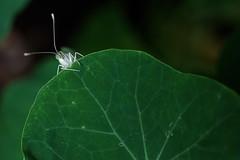 (α) Tags: plant macro green butterfly colorhsvavg51b134 colorhsvmed5cbc37 colorrgbavg143410 colorrgbmed0e3716 0x123317