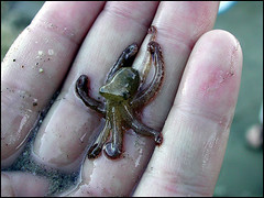 baby octopus picture taken by deviant-ar by Foxtongue, on Flickr