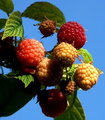 I went to pick some raspberries for lunch .... (algo) Tags: uk blue autumn light shadow red england sky food cold color macro english nature weather yellow closeup fruit garden dark lunch photography leaf cool european berries seasons sweet seeds farmer raspberries frambuesas framboesa
