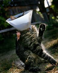 unhappy conehead (Sara Heinrichs (awfulsara)) Tags: cat sad wrong mainecoon collar conehead 250 francesco injured canon1740f4l