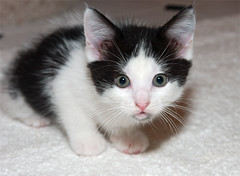Red Oak (Gini~) Tags: animal cat kitten hart redoak blackandwhite chrysanthemumskitten foster fluvanna dsh female