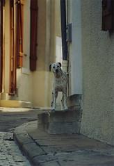 Dalmatian - by eek the cat