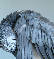 peek-a-boo (solecism) Tags: blue bird one peekaboo wing feathers parrot shy hiding