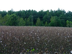 Dixie, The Land O' Cotton - This field has been picked clean by a cotton pickin' machine (Old Shoe Woman) Tags: usa georgia southgeorgia dilosep05 cotton cottonfield cleanpicked agriculture dixie dixieland dilosept05