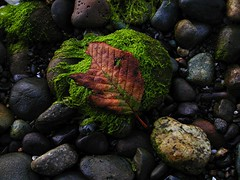 When the dead overshadow the living (GustavoG) Tags: brown seaweed green wow dead leaf interestingness oneleaf bravo 6ws cafegallery dusk stones sixwordstory pebbles 500plus20 topf100 myownfavorites