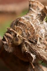Punk Moth (Lord V) Tags: moth macro insect bug