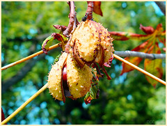 ready to burst (CCCvrcak) Tags: chestnut autmn fruits seed colors fall nature