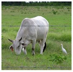 Grazing (Old Shoe Woman) Tags: usa georgia southgeorgia dilosep05 cow bird bull white pasture grazing dilosept05