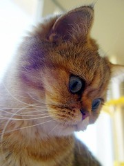 Ling portrait (_Xti_) Tags: gato gatos cat cats gatosexoticos gatoexotico exoticcat exoticcats lua ling katzen gatto gatti kätzchen méo kitty furry cutecat feline felines exotic persian gata gatas chat silver golden sorthair pet pets eyes kaz ket mau exoticsorthair fantastic