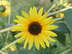 Common Sunflower, P9170041.JPG Image by Anita363 via Flickr