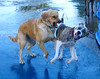 Dog Run - Fight Img_0727 (Lanterna) Tags: dog pets dogs fight action attack dogfight snarling lanterna frightened canonpowershota75 thelittledoglaughed