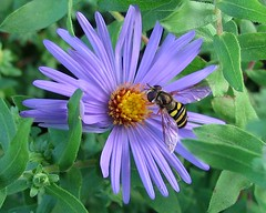 hoverfly on New England aster (mimbrava) Tags: flower macro topf25 topv111 closeup insect ilovenature interestingness interesting topv333 seasons purple 9 mimbrava 7d hoverfly c19 newenglandaster asternovaeangliae setkudos setmyfavorites setflickrfavorites setflowersset1 setinmacromode setinsectsandspiders