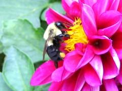 pollenation (Wiggie Smalls) Tags: bee flower flowers purple pink yellow petals pollenating deleteme deleteme2 deleteme3 deleteme4 deleteme5 deleteme6 deleteme7 deleteme8 deleteme9 deleteme10
