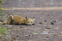 Red Fox and Prey